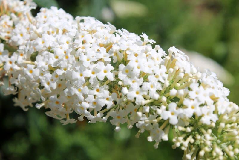 Fleurs blanches de davidii ou de papillon-Bush de buddleia photo libre de droits