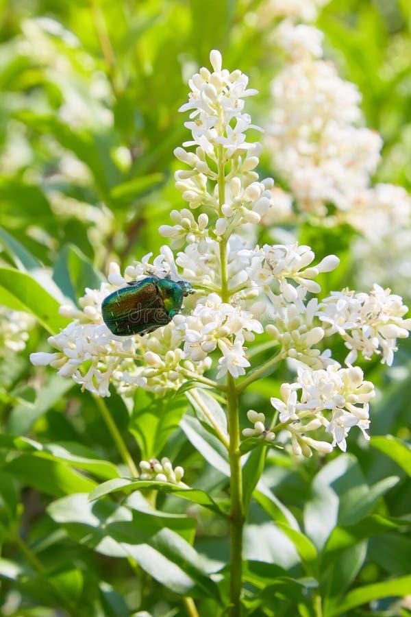 Fleurs blanches de davidii ou de papillon-Bush de buddleia dans le jardin photographie stock libre de droits
