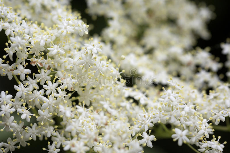 Download Fleurs Blanches De Fleur De Sureau Photo stock - Image du outdoors, parfumé: 77161016