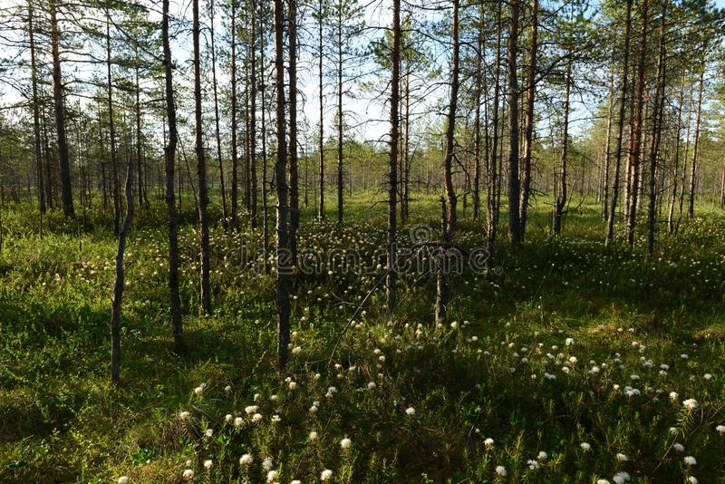 Fleurs blanches de fleur de romarin sauvage entre la forêt conifére d'arbres de marais image libre de droits