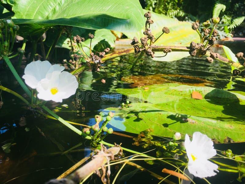 Fleurs blanches de floraison sur la surface de l'eau photo libre de droits