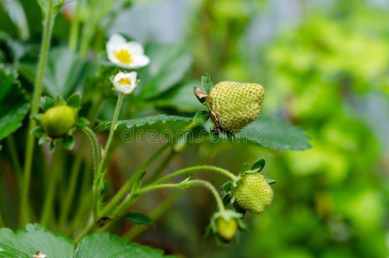 Fleurs blanches de fraise et petites baies vertes fra?ches photo libre de droits