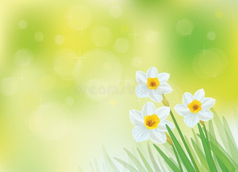 Fleurs blanches de jonquille de vecteur illustration stock