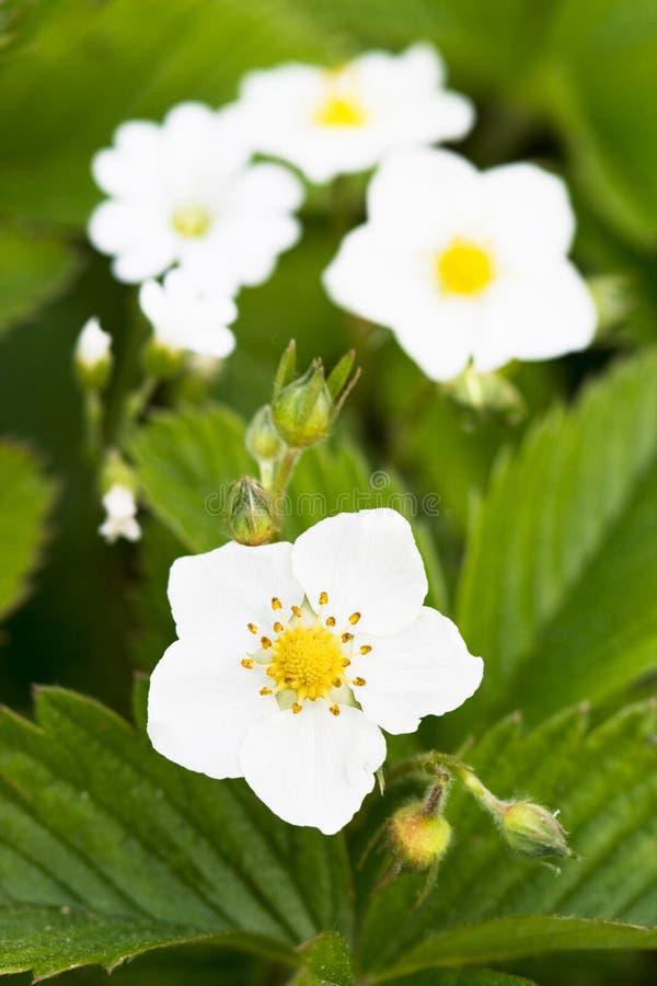 Fleurs blanches de la fraise image stock