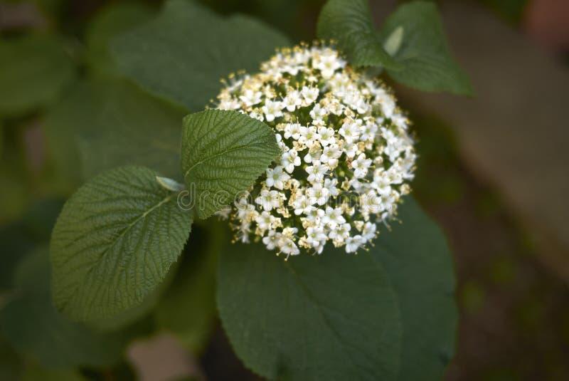 Fleurs blanches de lantana de Viburnum photos stock