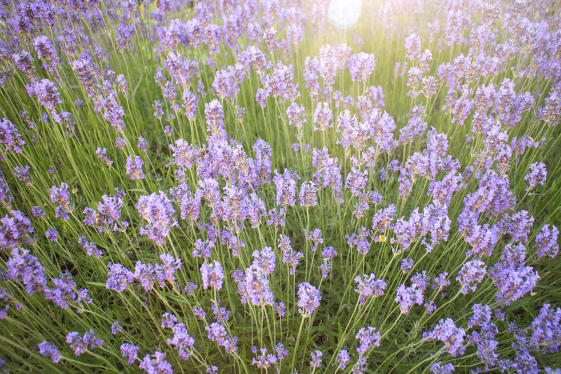 Fleurs blanches de lavande vues étroitement vers le haut photos stock