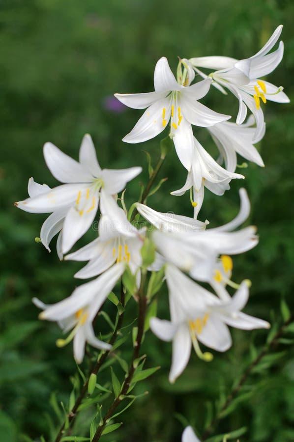 Fleurs blanches de lis de Madonna (Lilium candidum) photo stock