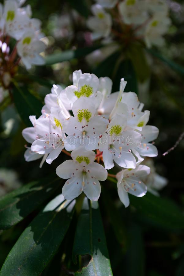 Fleurs blanches de mûre images libres de droits