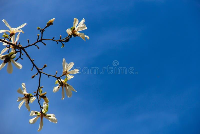 Fleurs blanches de magnolia photo libre de droits