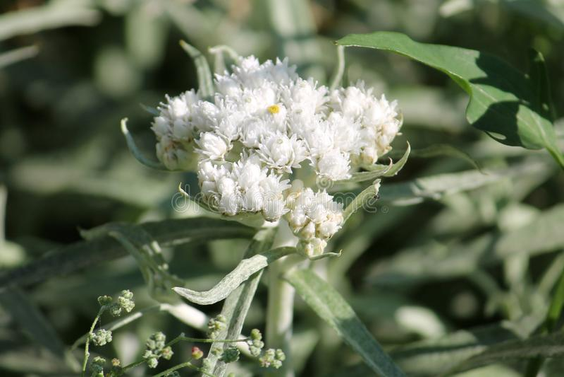 Fleurs blanches de margaritacea nacré occidental éternel ou d'Anaphalis photographie stock libre de droits