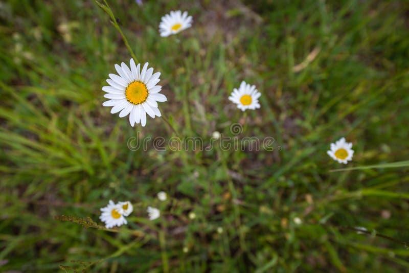 Fleurs blanches de marguerite des prés photographie stock
