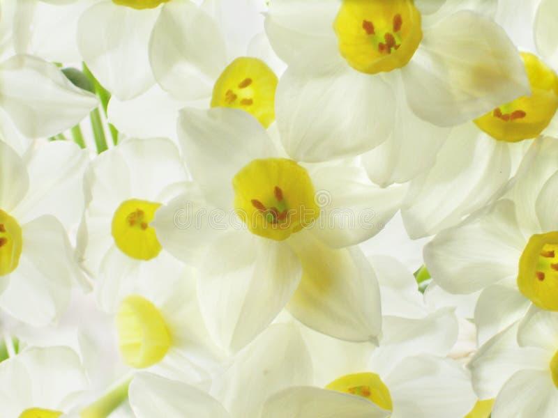 Fleurs blanches de narcisses image stock