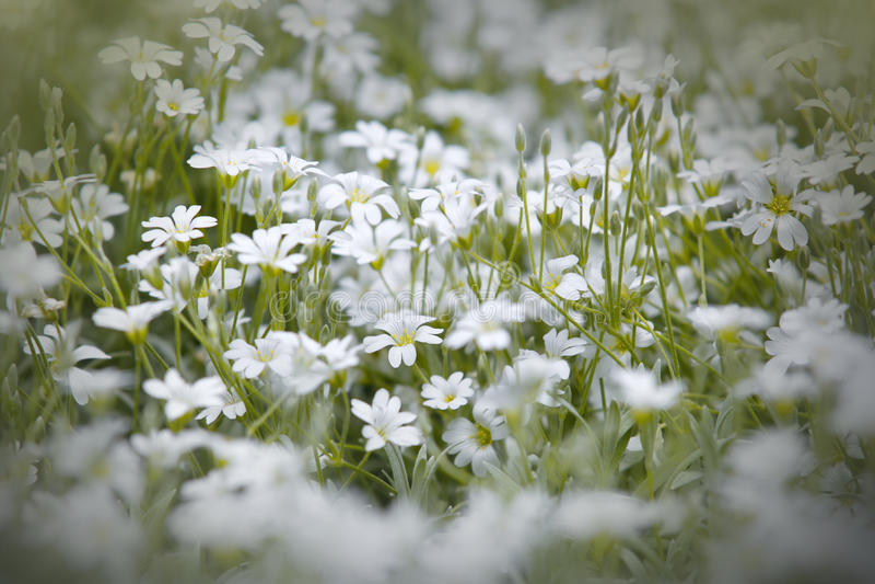 Fleurs blanches de neige photos stock