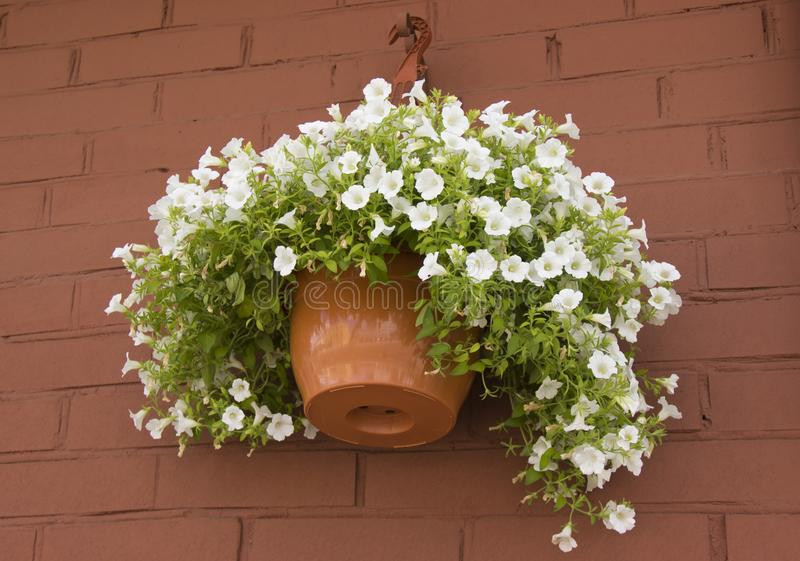 Fleurs blanches de pétunia dans des pots sur le mur de briques photos libres de droits