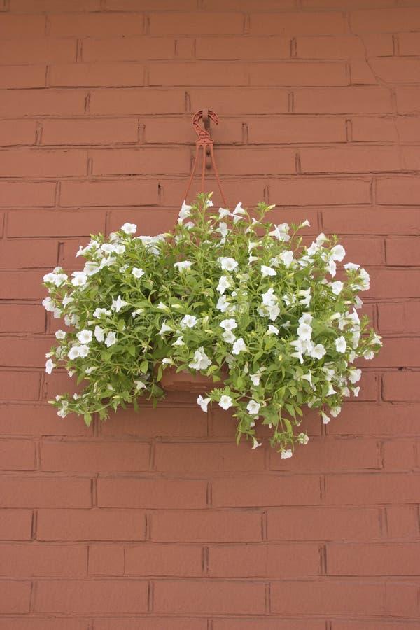 Fleurs blanches de pétunia dans des pots sur le mur de briques image libre de droits