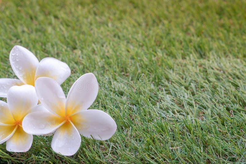 fleurs blanches de plumeria ou de frangipani sur le fond brouillé d'herbe verte image libre de droits