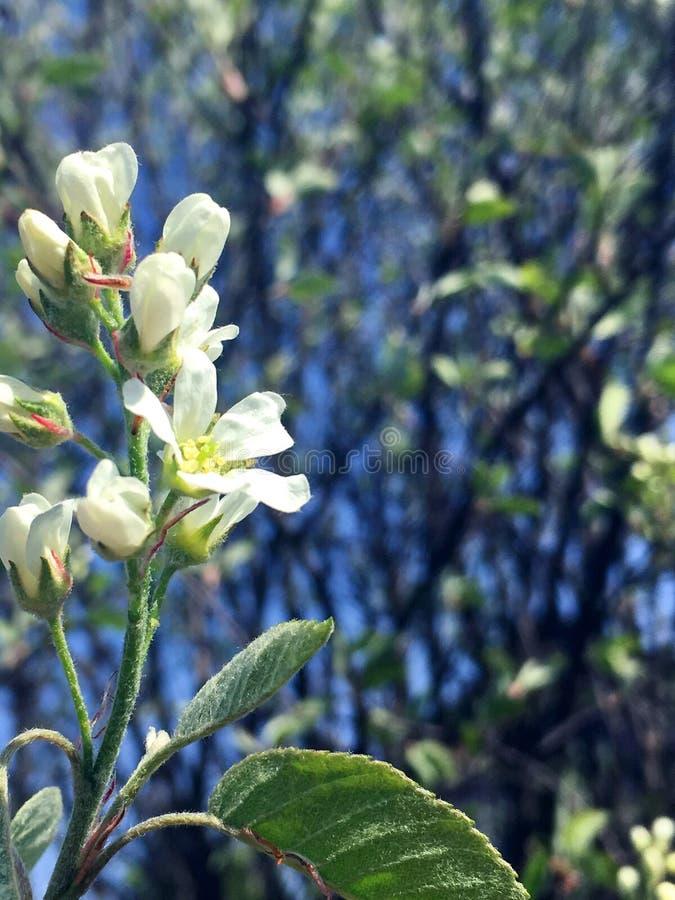 Fleurs blanches de poire allumées par le soleil images libres de droits