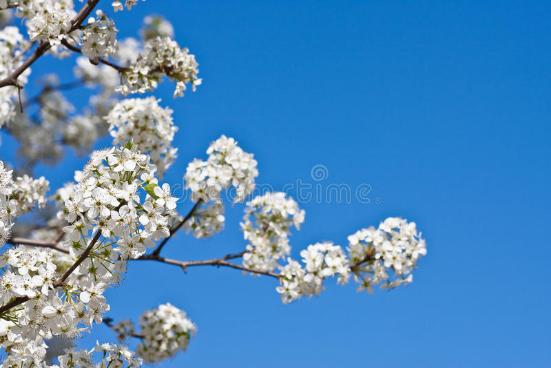 Fleurs blanches de poire sur un ciel bleu photo stock