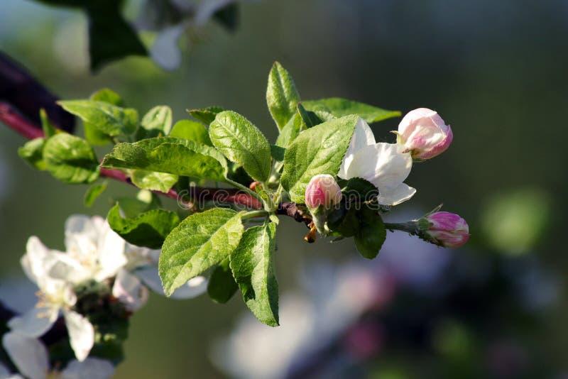 Fleurs blanches de ressort photographie stock