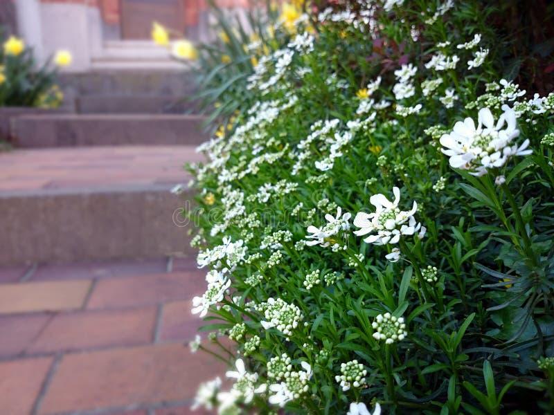 Fleurs blanches de ressort au seuil photos stock