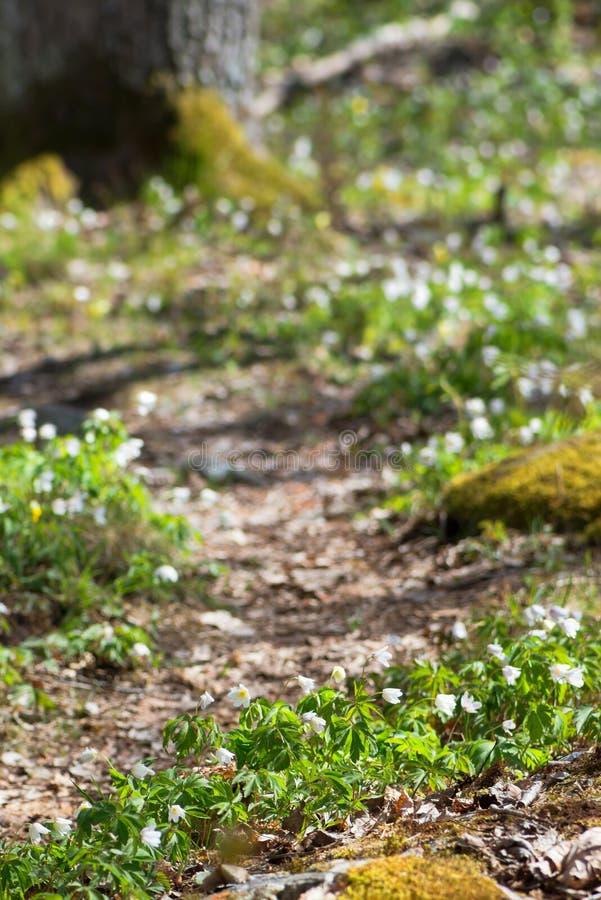Fleurs blanches de ressort le long d'un chemin forestier photographie stock libre de droits