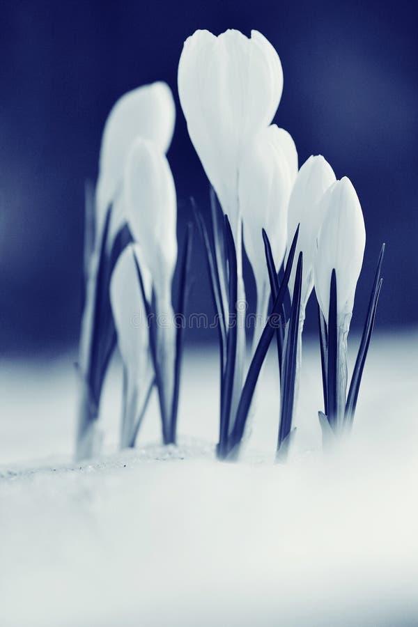 Fleurs blanches de ressort tendre image libre de droits