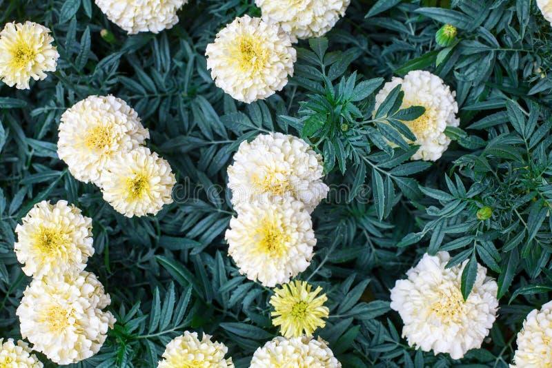 Fleurs blanches de souci sur la fin de fond brouillée par feuillage vert vers le haut de la vue supérieure, belles fleurs de flor photo libre de droits