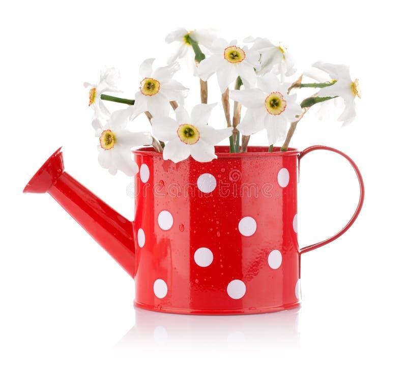 Fleurs blanches de source dans le vase rouge photographie stock libre de droits