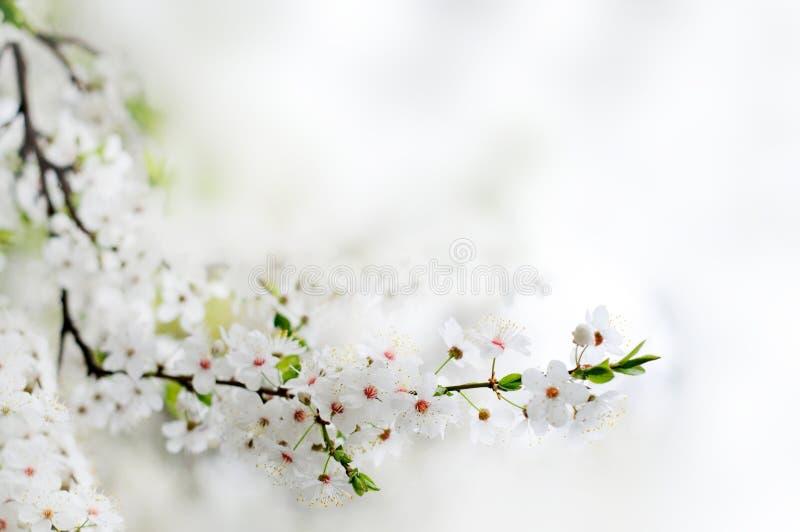 Fleurs blanches de source sur un branchement d'arbre photos libres de droits