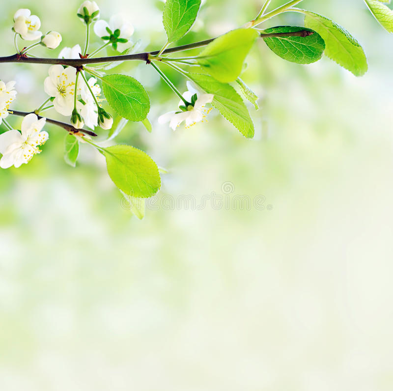 Fleurs blanches de source sur un branchement d'arbre image stock