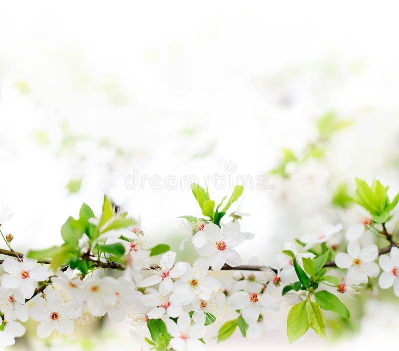 Fleurs blanches de source sur un branchement d'arbre photos stock