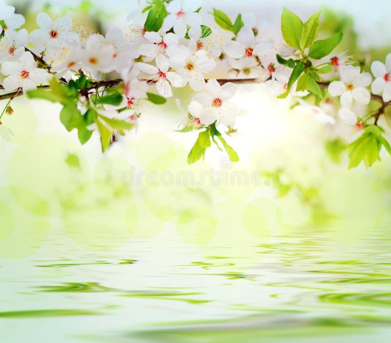 Fleurs blanches de source sur un branchement d'arbre photographie stock libre de droits