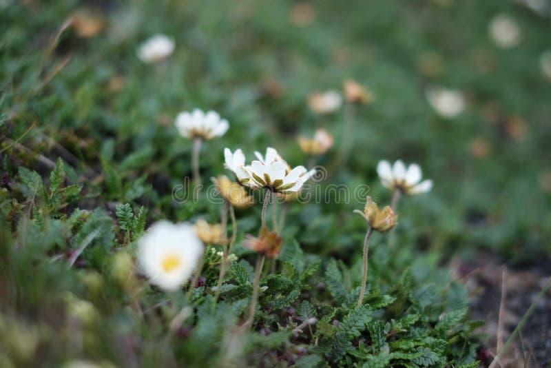 Fleurs blanches en Islande photos libres de droits