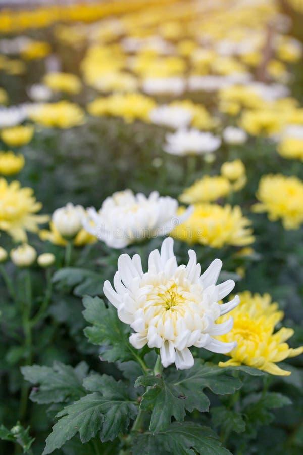 Fleurs blanches et jaunes de chrysanthemum photo stock