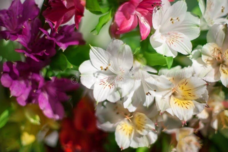 Fleurs blanches et multicolores de lis sur la fin brouill?e de fond, composition florale douce en lis de foyer images stock