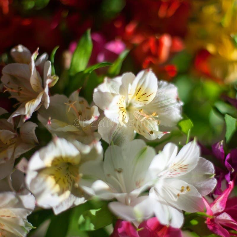Fleurs blanches et multicolores de lis sur la fin brouill?e de fond, composition florale douce en lis de foyer photos stock