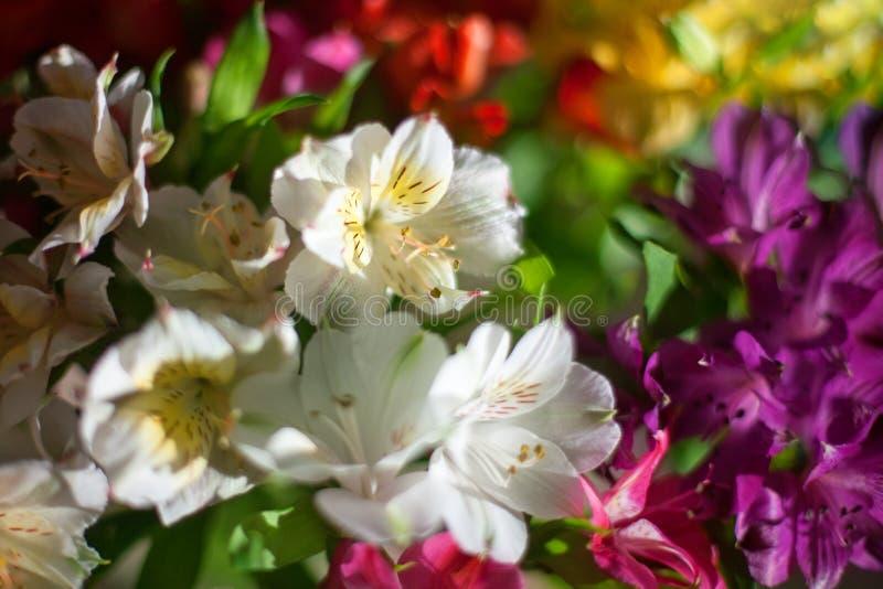 Fleurs blanches et multicolores de lis sur la fin brouill?e de fond, composition florale douce en lis de foyer photo libre de droits