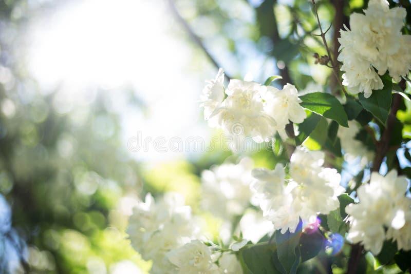 Fleurs blanches et rayon de lumière photos libres de droits