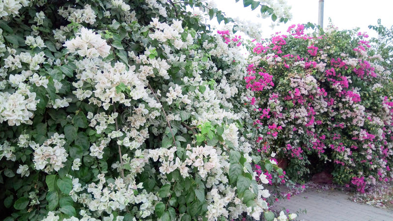 Fleurs blanches et roses photo libre de droits