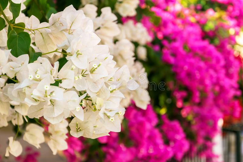 Fleurs blanches et roses de bouganvillée fleurissant dans les jardins image stock