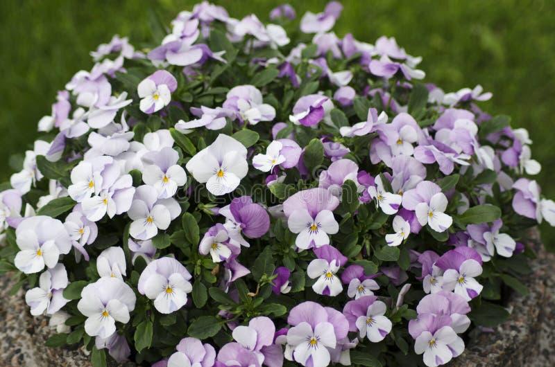 Fleurs blanches et roses de pensée photos stock