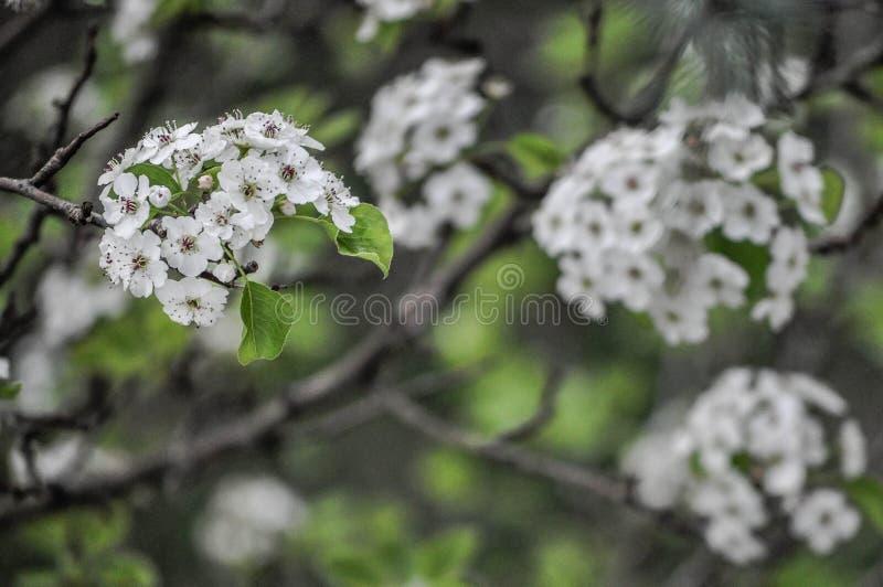 Fleurs blanches fleurissant sur un arbre image libre de droits