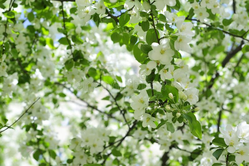 Fleurs blanches fraîches tendres de ressort photo libre de droits