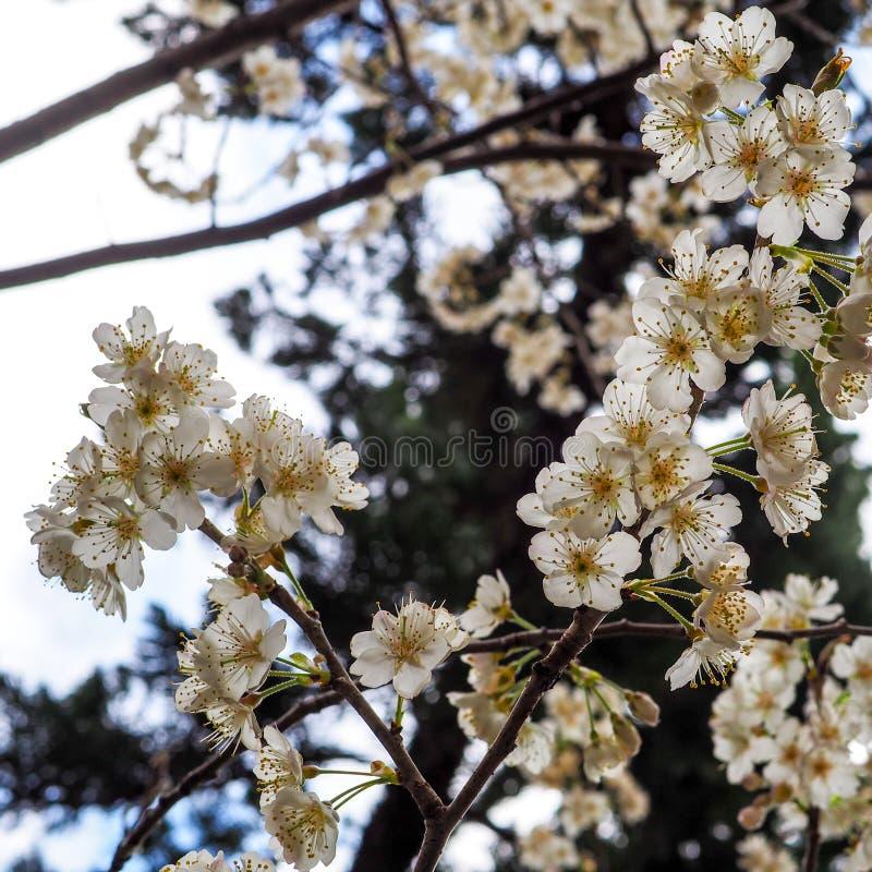 Fleurs blanches fraîches vibrantes de ressort au Japon image libre de droits
