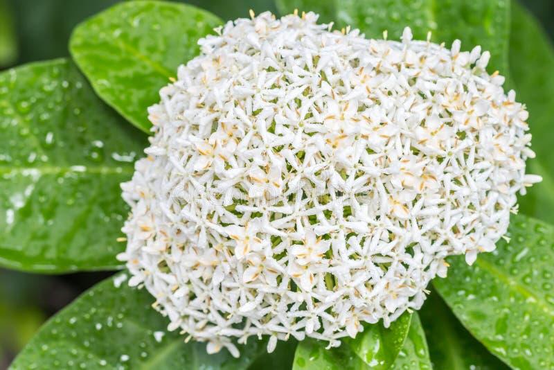 Fleurs blanches, Ixora blanc siamois photographie stock libre de droits