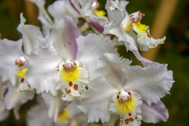 Fleurs blanches, jaunes et rouges d'orchidée d'odontoglossum images stock