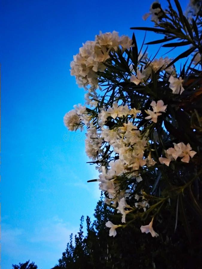 Fleurs blanches lumineuses d'arbuste, Pescara, région de l'Abruzzo image stock