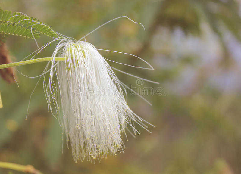 Fleurs blanches molles image libre de droits