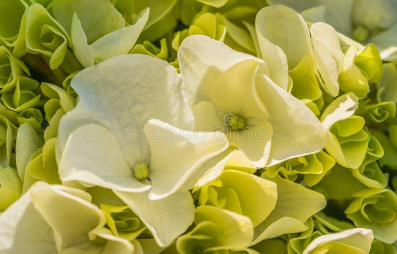 Fleurs blanches molles de fleur d'hortensia, plan rapproché image libre de droits