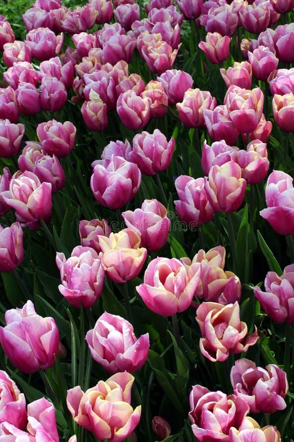 Download Fleurs blanches pourprées photo stock. Image du exposition - 738758